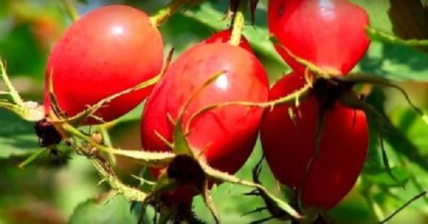 свойства ягод шиповника