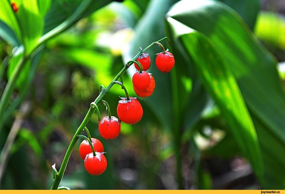 ландыш майский ядовитое растение