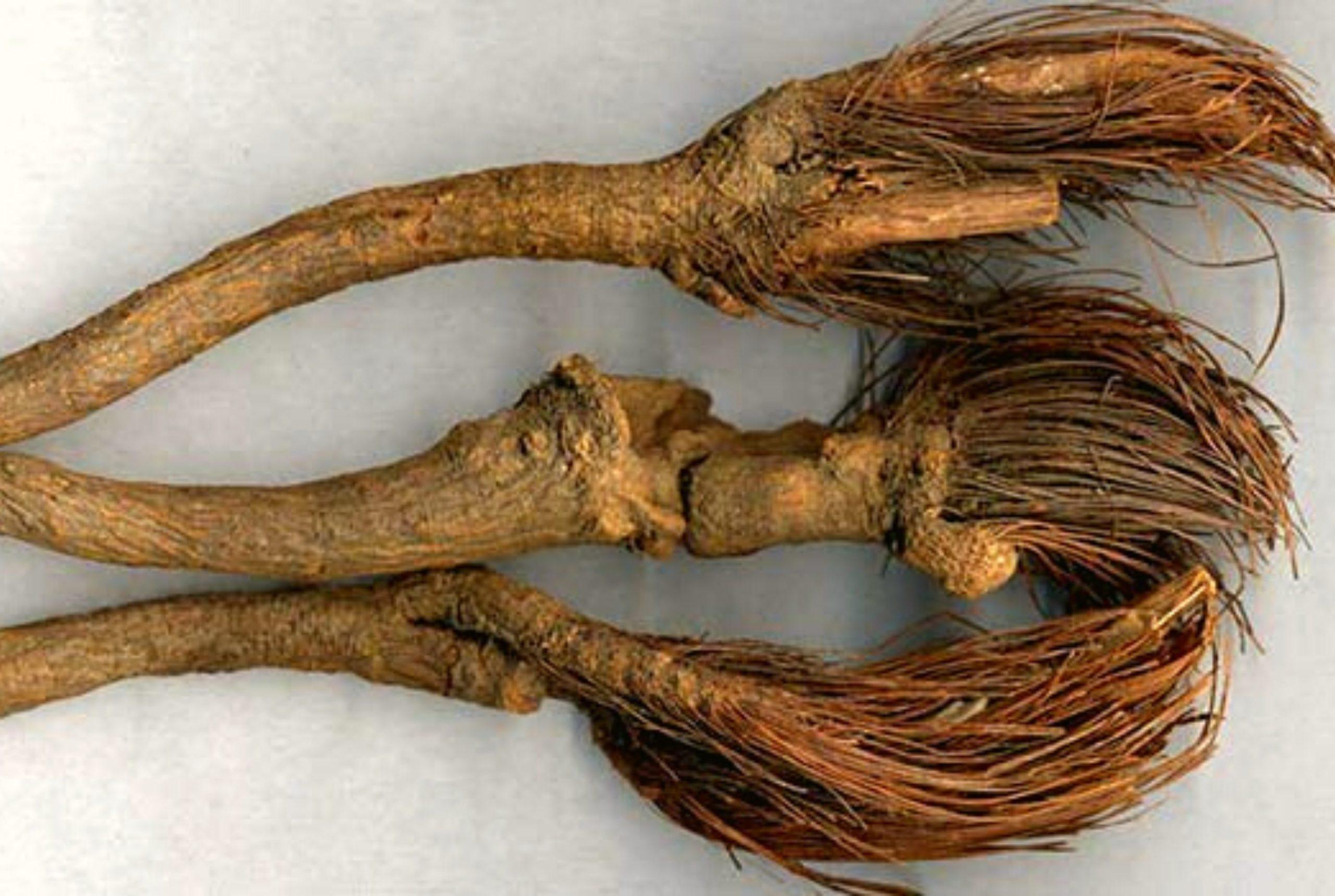 Маралий корень лечебные свойства и противопоказания